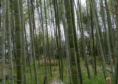 Bamboo Grove 4